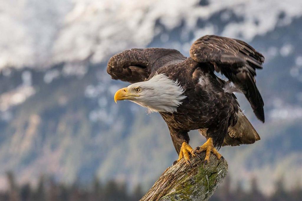 The eagle's white head